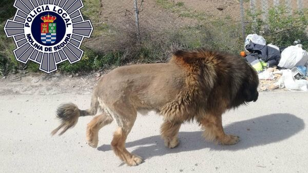 Собака с необычной стрижкой в Испании