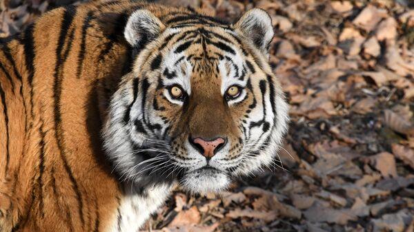 Тигр Амур в вольере Приморского сафари-парка
