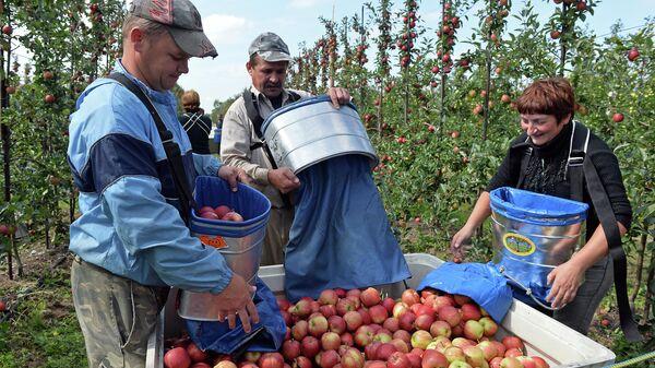 Сезонные рабочие из Украины во время сбора урожая яблок в Польше