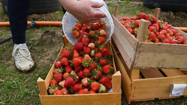 Сбор урожая клубники на семейной ферме в Краснодарском крае