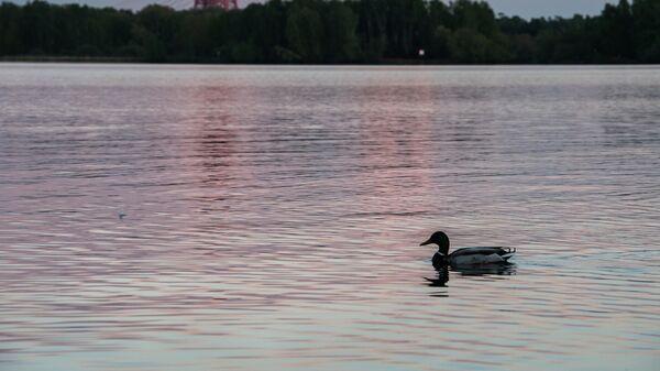 Селезень в Строгинском заливе в Москве