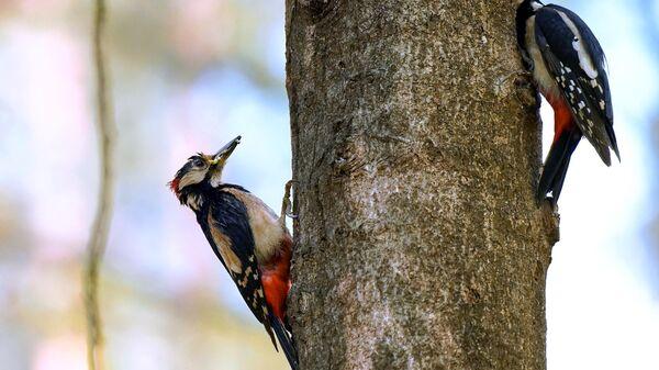 Пестрые дятлы в период выкармливания птенцов