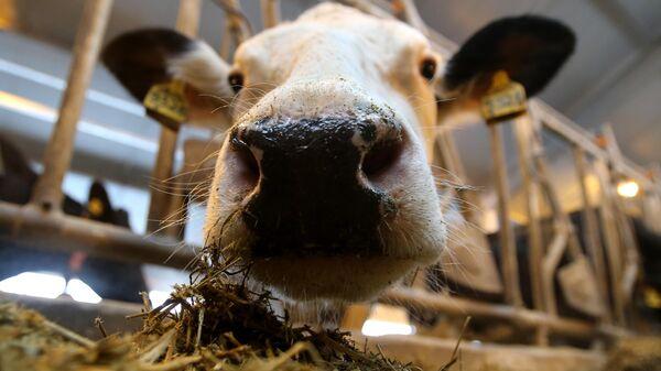 Корова на молочной ферме