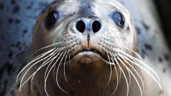 Тюлень-ларга в вольере Центра реабилитации морских млекопитающих Тюлень в поселке Тавричанка Приморского края