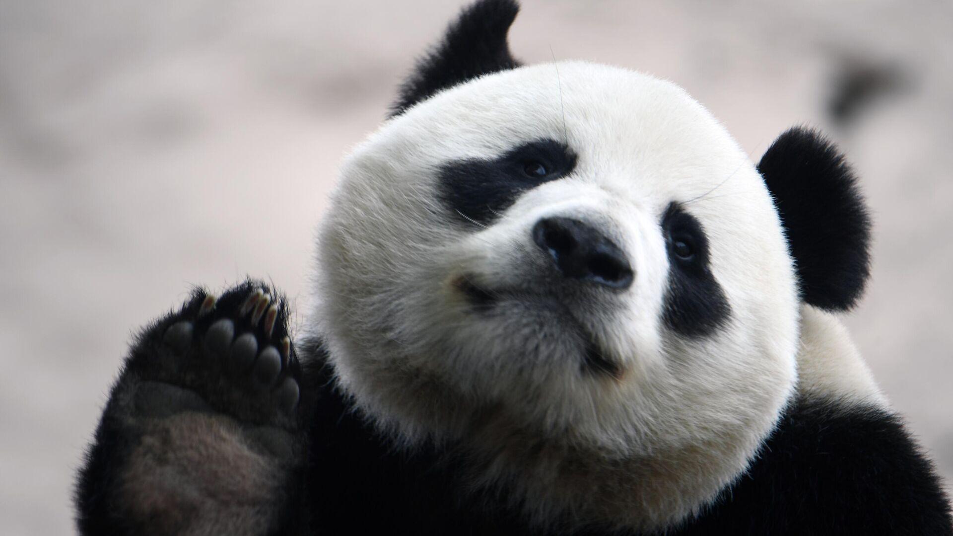 Большая панда в вольере Московского зоопарка перед открытием после карантина - РИА Новости, 1920, 09.11.2020