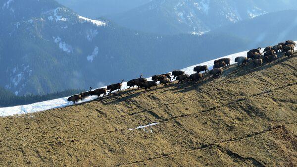 Подсчет зубров в Кавказском заповеднике