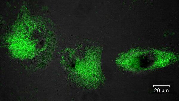 Культура фибробластов человека, обработанная синтезированным соединением