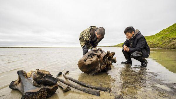 Фрагменты костей взрослого мамонта времен палеолита, обнаруженные в ходе археологических раскопок на территории Ямало-Ненецкого округа
