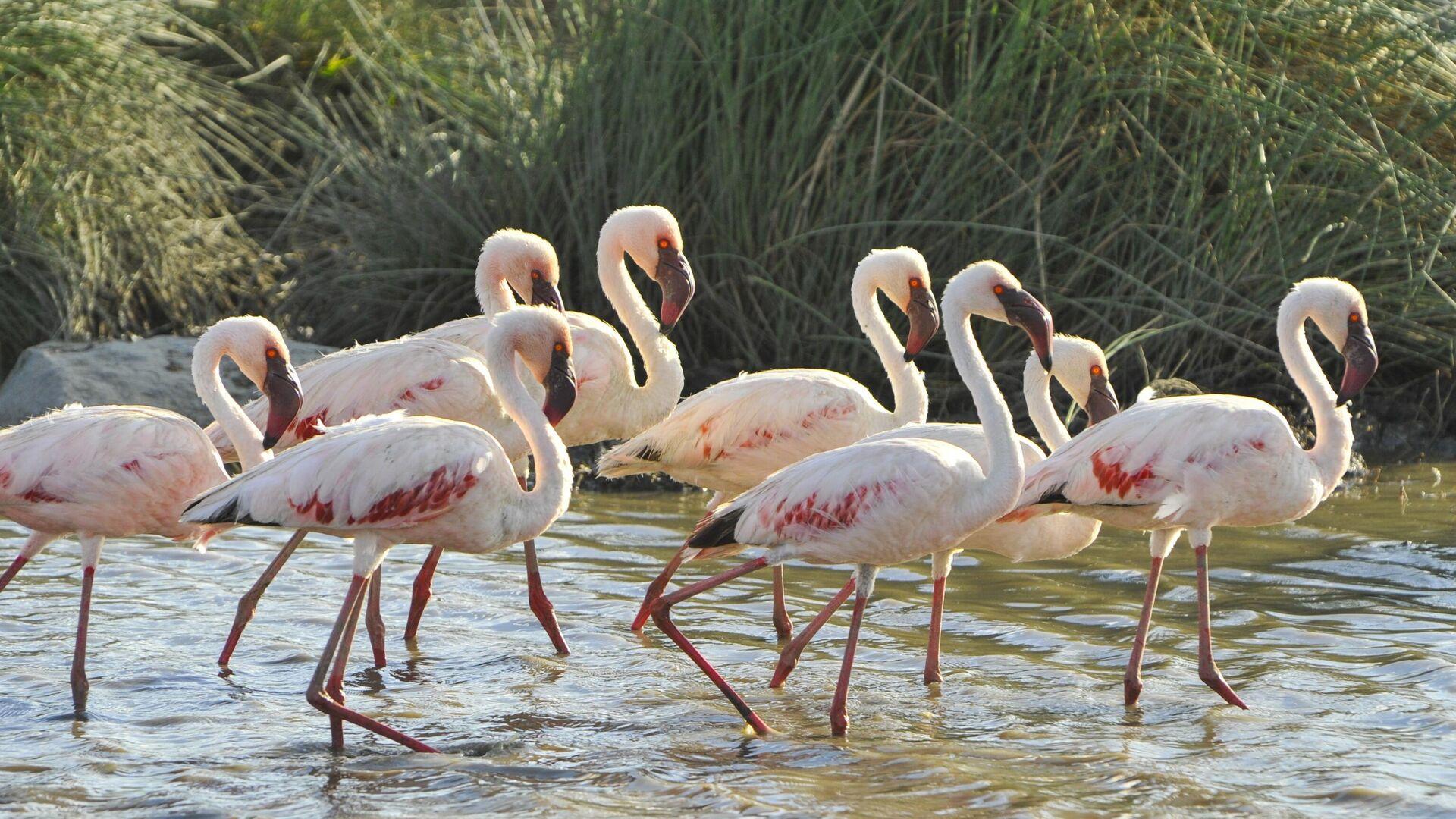 Фламинго в национальном парке Серенгети в Танзании - РИА Новости, 1920, 04.08.2021