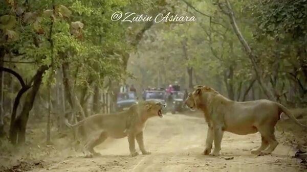 Кадр из видео перепалки львов, снятого в индийской саванне