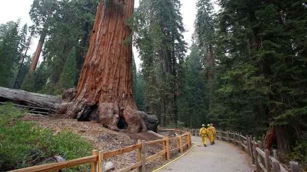 Секвойя в Национальном парке Кингз-Каньон в Калифорнии