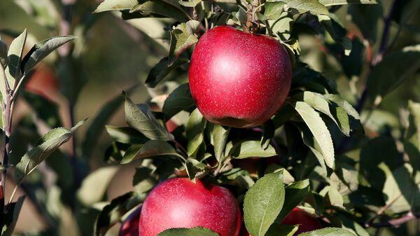 Яблоки на ветке в саду Северского района в Краснодарском крае