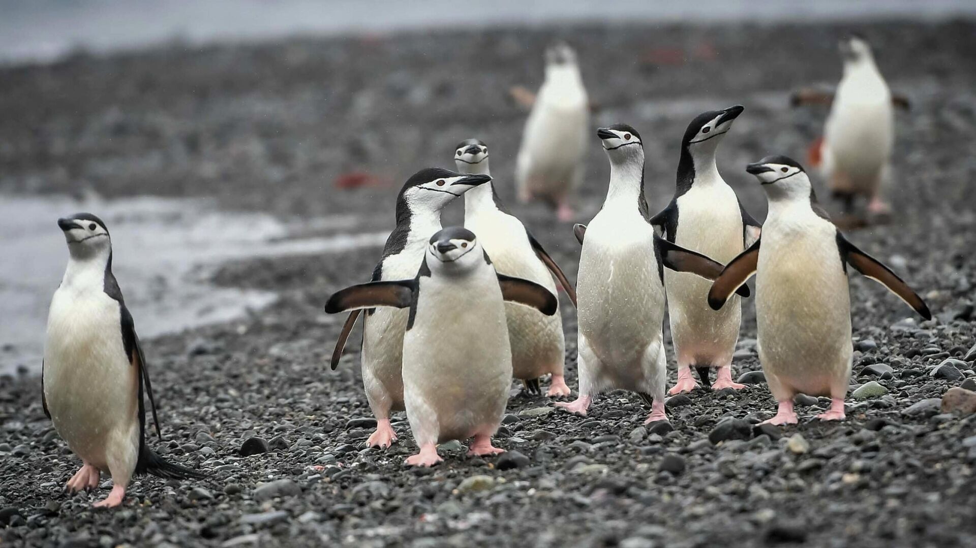 Антарктические пингвины на острове Кинг-Джордж (Ватерлоо) в Антарктиде - РИА Новости, 1920, 22.12.2020
