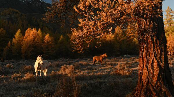 Лошади пасутся в долине реки Каракабак Северо-Чуйского хребта Республики Алтай