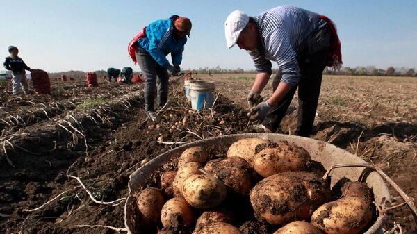 В Костромской области раздают бесплатную землю для выращивания картошки