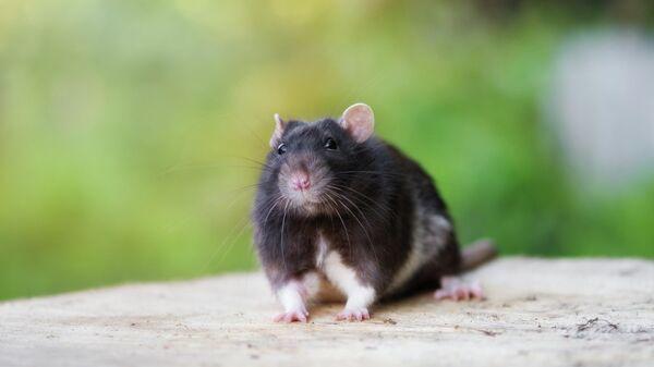 Черная крыса на улице