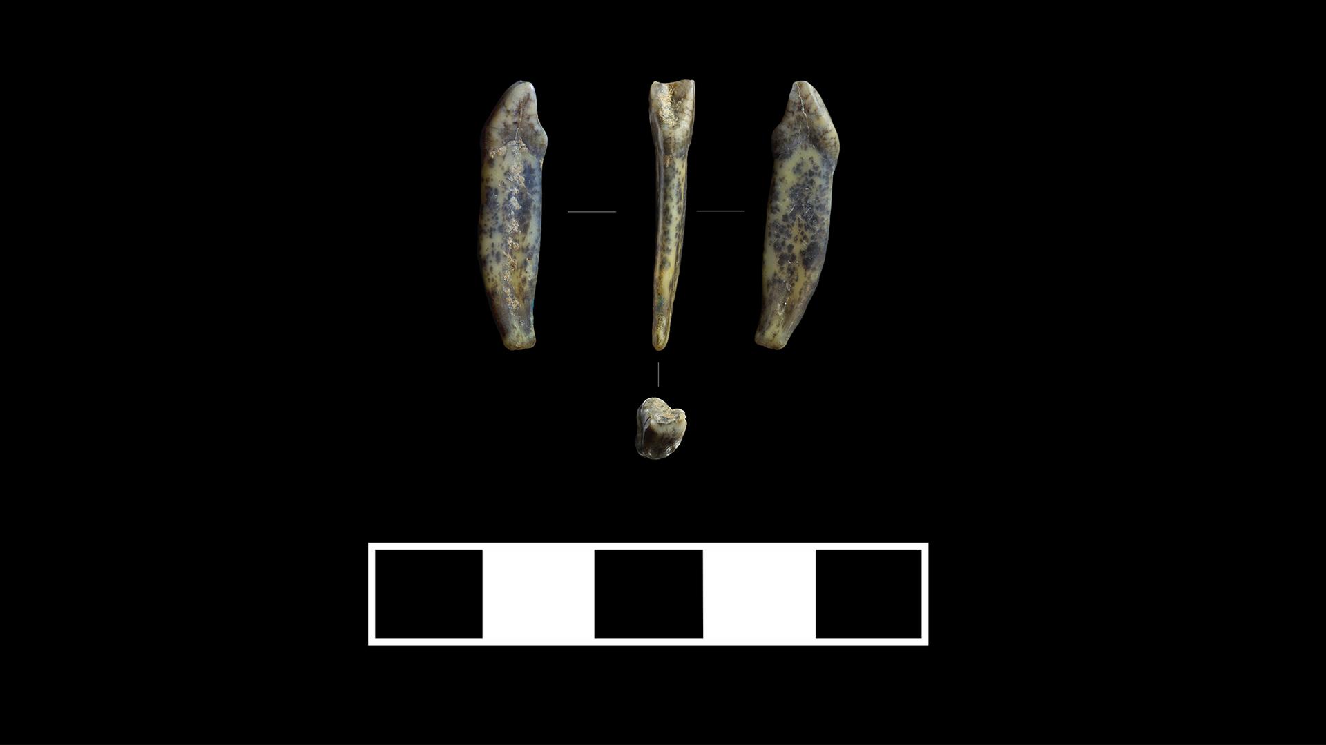 Зубы неандертальцев, найденные в Чагырской пещере - РИА Новости, 1920, 24.09.2020