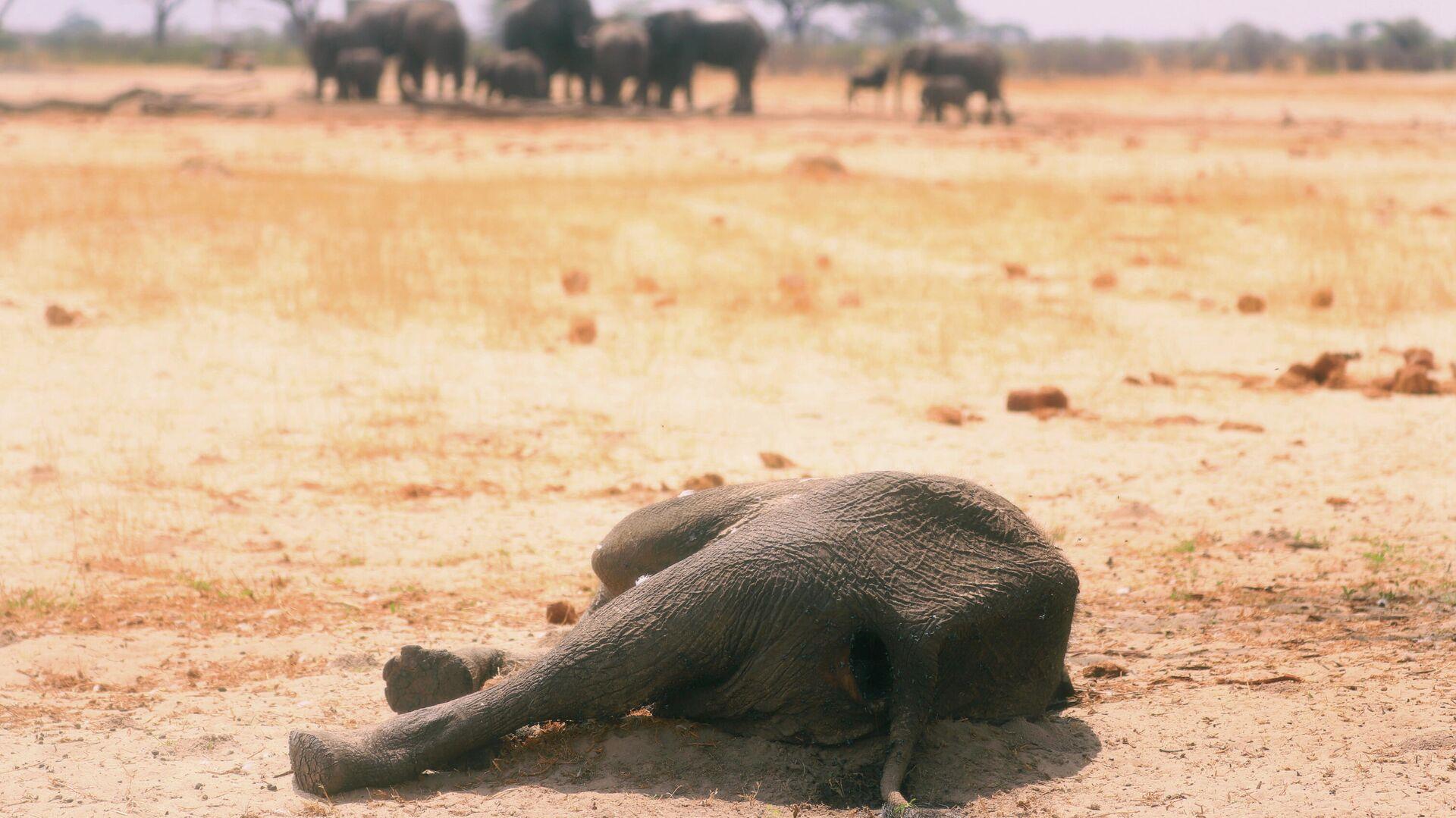 Мертвый слон в национальном парке Хуэндж в Зимбабве - РИА Новости, 1920, 29.09.2020