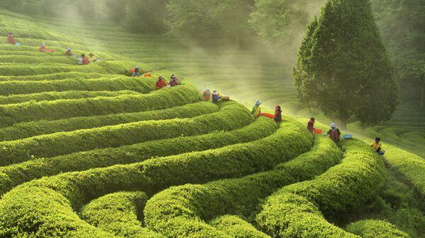 Чайные плантации в Корее