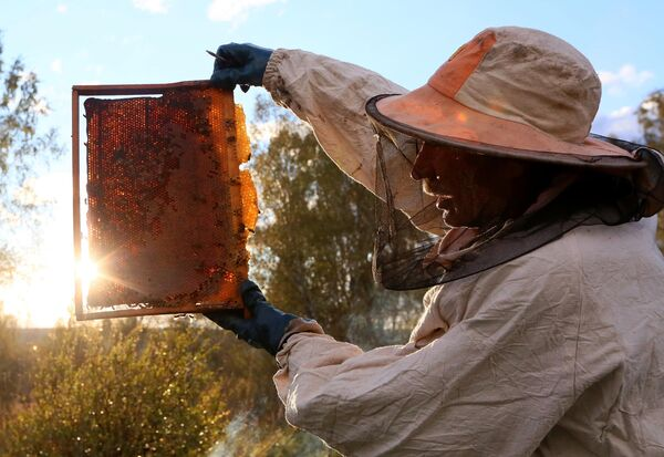 Пчеловод Петро Голобурдо держит соты из улья на пасеке в окрестностях посёлка Вольный Балахтинского района Красноярского края