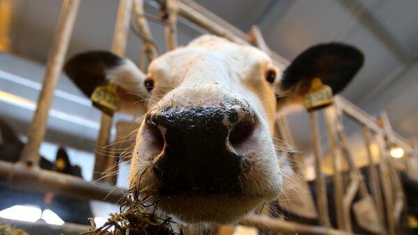 Корова на молочной ферме Совхоза им. Ленина Московской области