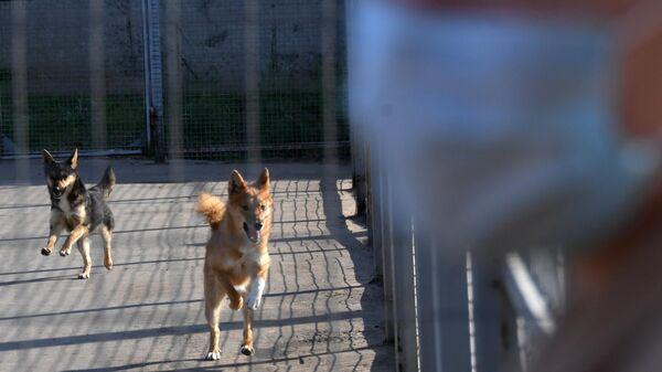 Служебные собаки кинологического подразделения авиакомпании Аэрофлот в аэропорту Шереметьево, где приступили к тренировке служебных собак по выявлению коронавирусной инфекции у человека