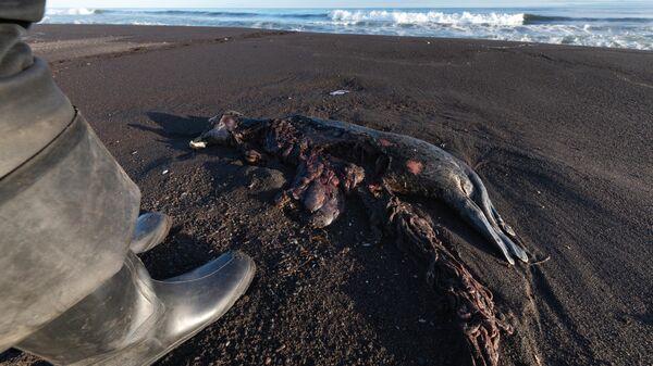Погибшая ларга, выброшенная на берег Халактырского пляжа на полуострове Камчатка