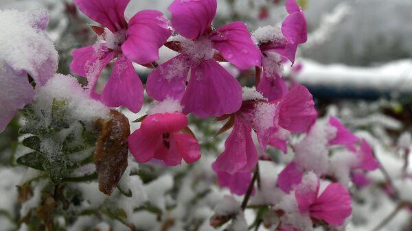 Живые цветы, покрытые снегом, во время первого снегопада на набережной Енисея в городе Дивногорске Красноярского края