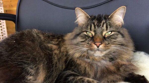 Кошка породы мейн-кун с характерным прищуренным взглядом