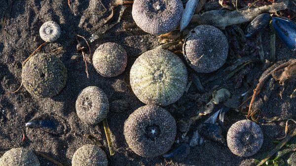 Выброшенные на берег Авачинской губы морские ежи