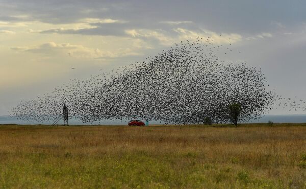 Стая птиц над полем в Крыму