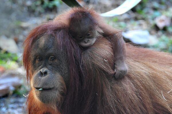 Самка орангутана с малышом в зоопарке Будапешта