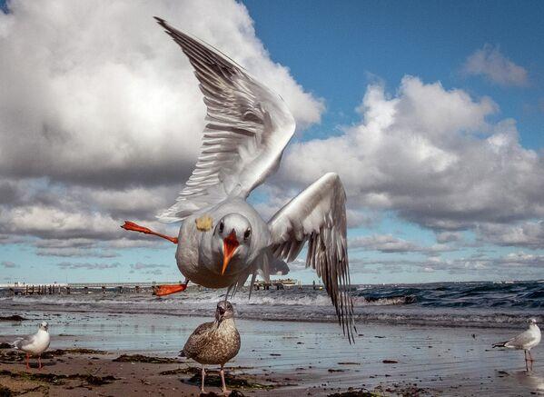 Чайка летит за куском хлеба в Тиммендорфер-Штранде, Германия