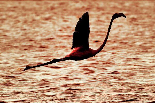Фламинго пролетает над водохранилищем в Атлите