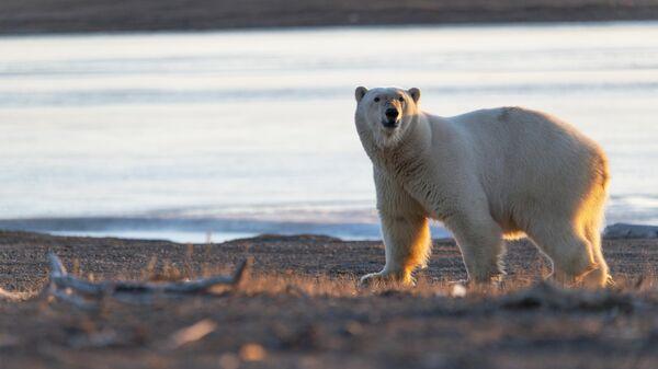 Белый медведь у села Рыркайпий в Иультинском районе Чукотского автономного округа России