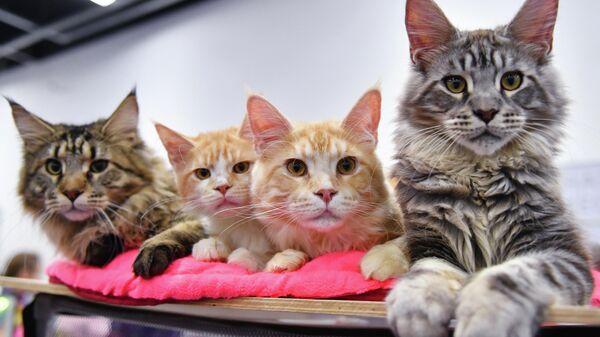 Котята породы мейн-кун на выставке КоШарики Шоу в Москве