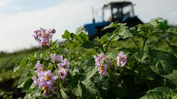 Подготовка к сбору урожая картофеля