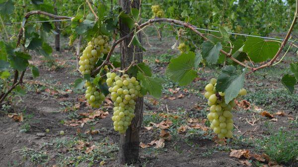 На Ставрополье  расширяют площади виноградников