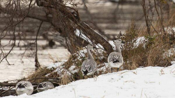 Cтая белых гусей во время миграции в Южно-Камчатском федеральном заказнике