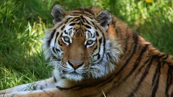 Амурский тигр по кличке Амур в Приморском сафари-парке