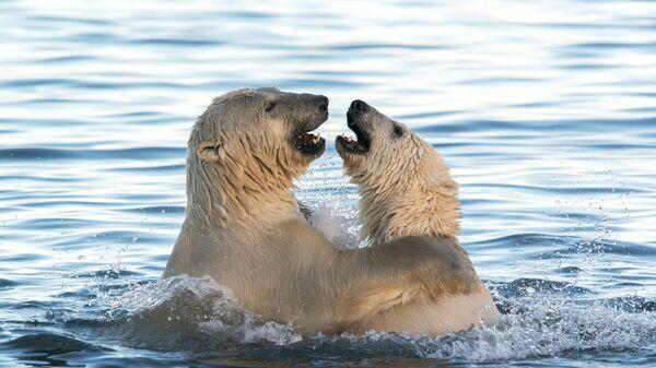Белые медведи на Чукотке