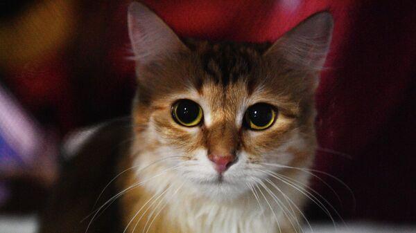 Кошка породы сибирская на выставке Кэт-Салон-Декабрь в Москве