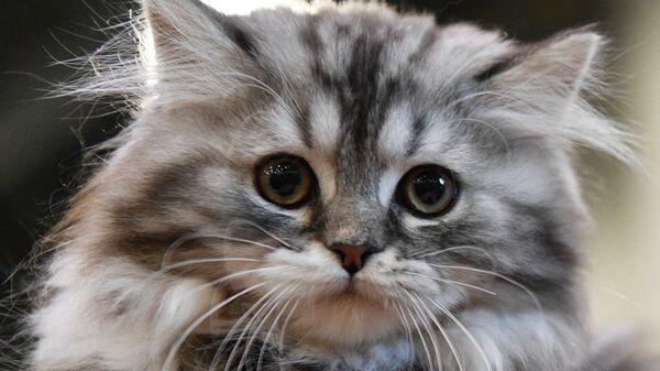 Кошка породы сибирская