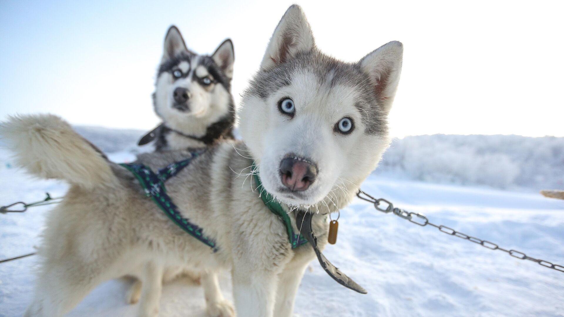 Ездовые собаки породы сибирский хаски в туристическом парке Северное сияние в Мурманской области - РИА Новости, 1920, 14.01.2021