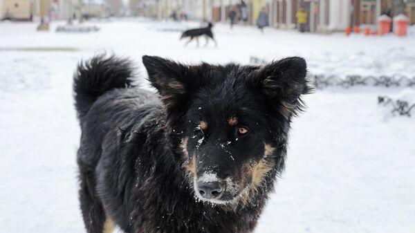 Собака на одной из улиц в центре Улан-Удэ