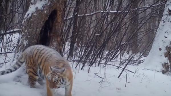Повзрослевшие тигрята Светлой в Еврейской автономной области