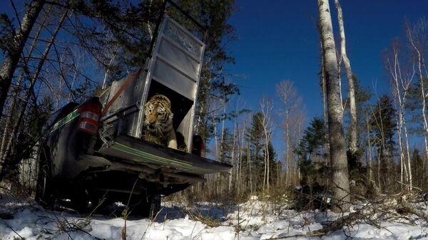Выпуск тигрицы в окрестностях нацпарка Зов тигра. Скриншот видео