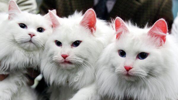 Две клонированные кошки ( в центре и справа) в Национальном университете Кёнсон, Южная Корея