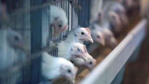 Молодые курицы в корпусе для выращивания молодняка