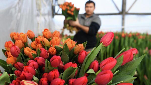 Сбор тюльпанов в преддверии праздника 8 Марта в тепличном хозяйстве фермера Александра Бурмантова в Новосибирске